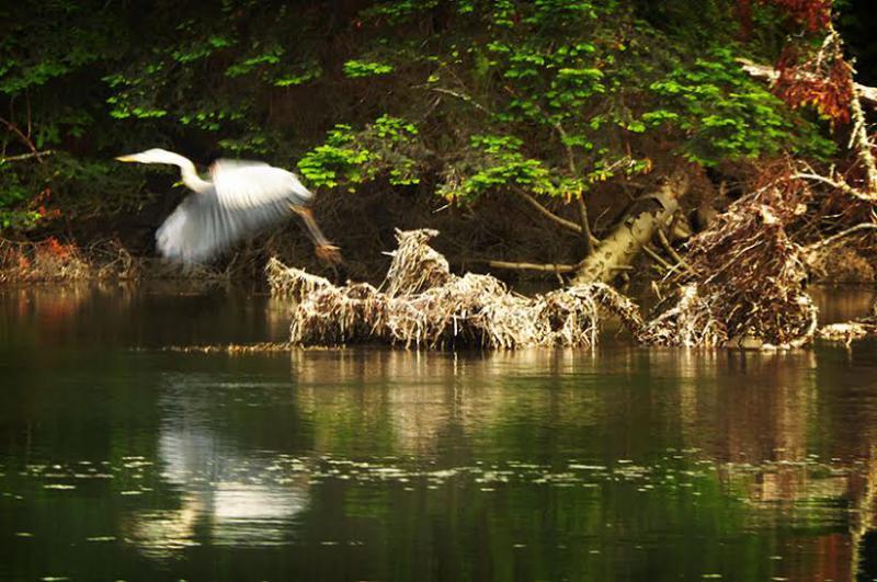 Egret on Albion River