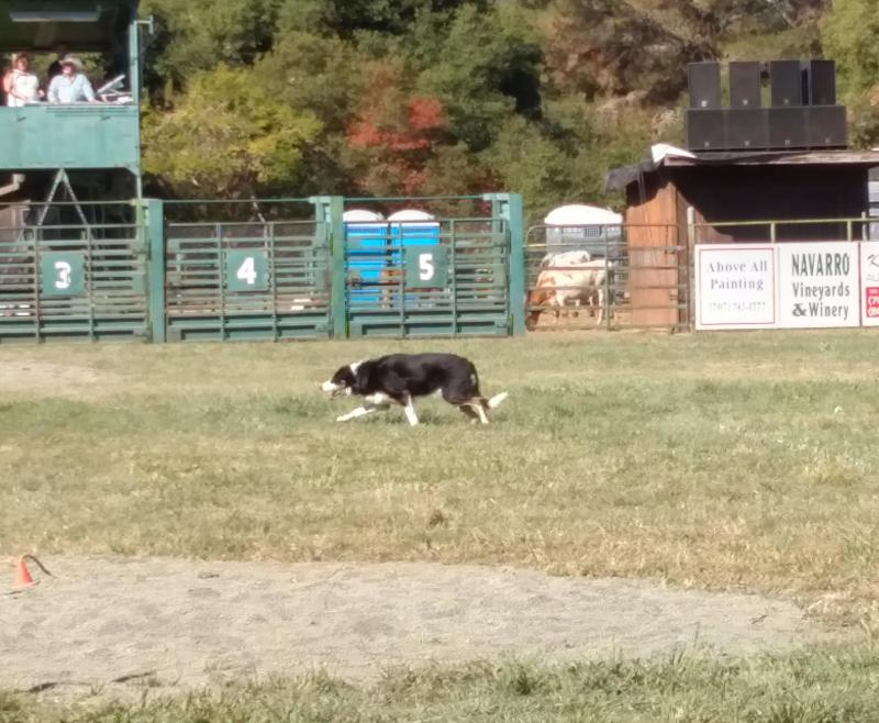 Dog competes in sheepdog trials