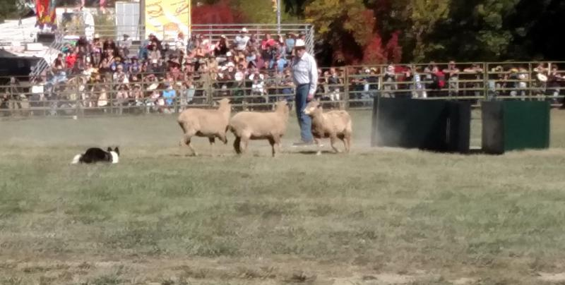 Sheepdog trials at the Mendocino County Fair