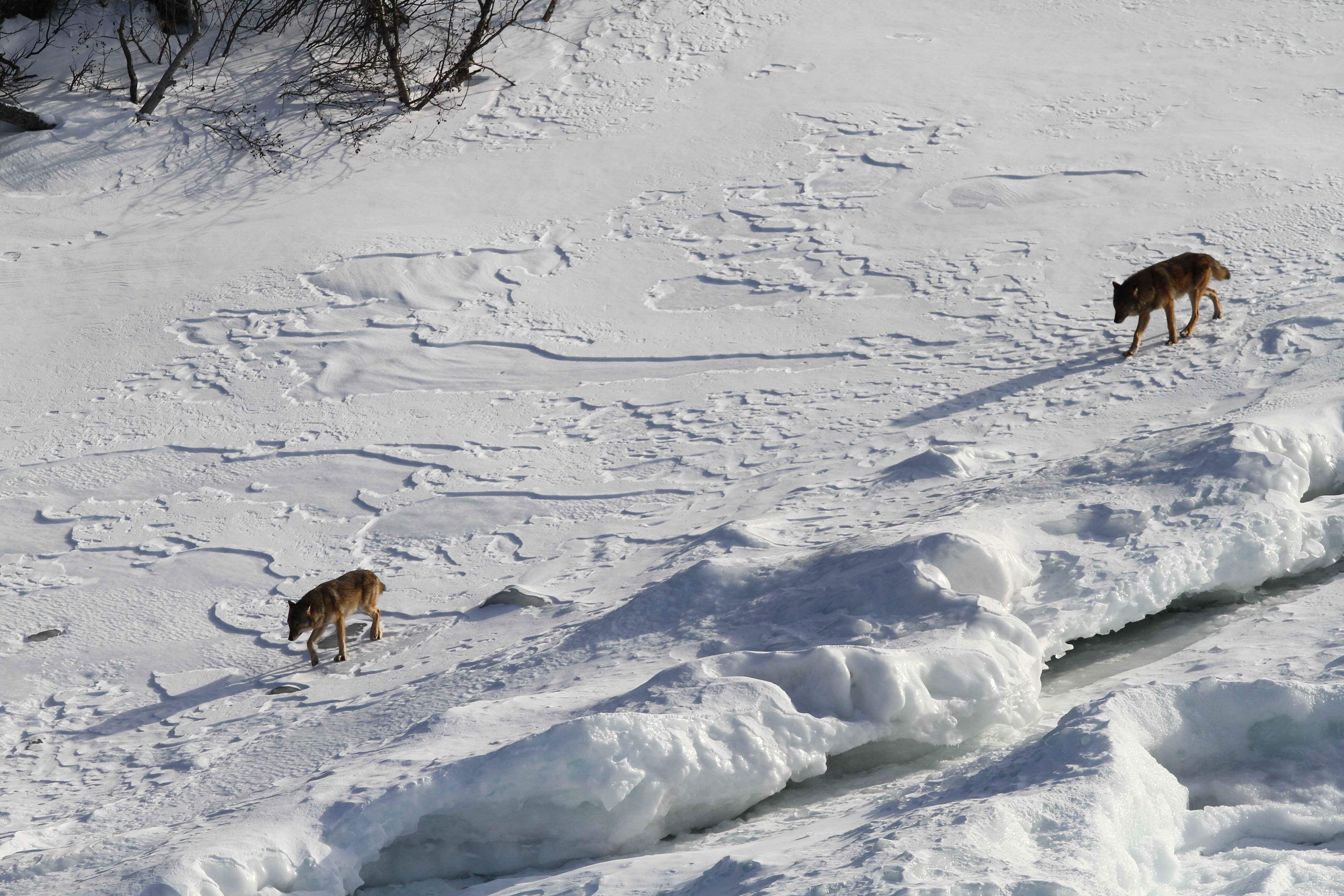 saving wolves essay Save food home  the save food initiative will present itself for the third time  now this year on the occasion of interpack in düsseldorf save food.