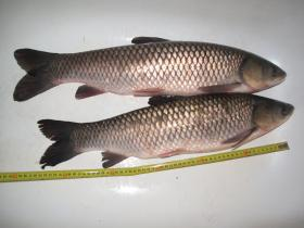 Grass Carp