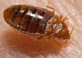 Bedbug on human skin