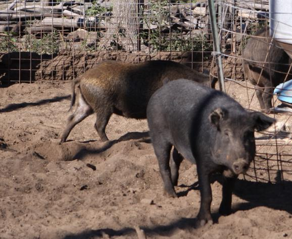 Captive Russian boars