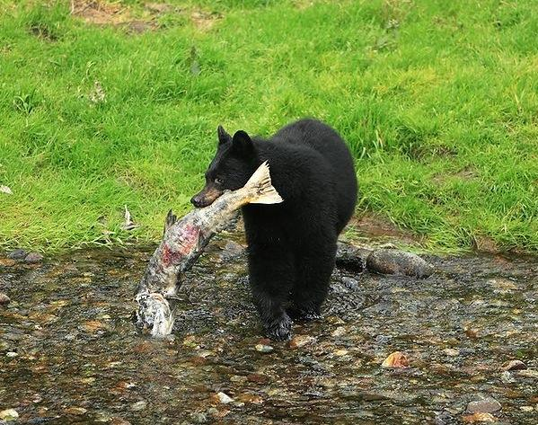 Black bear carrying fish carcass