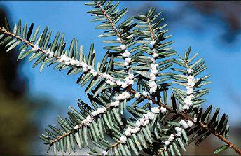 Infested hemlock