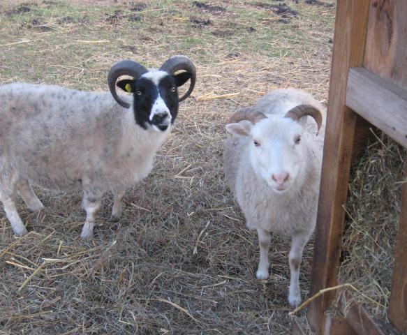 Goats make excellent landscapers.