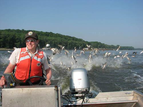 Silver carp jump behind a motor boat
