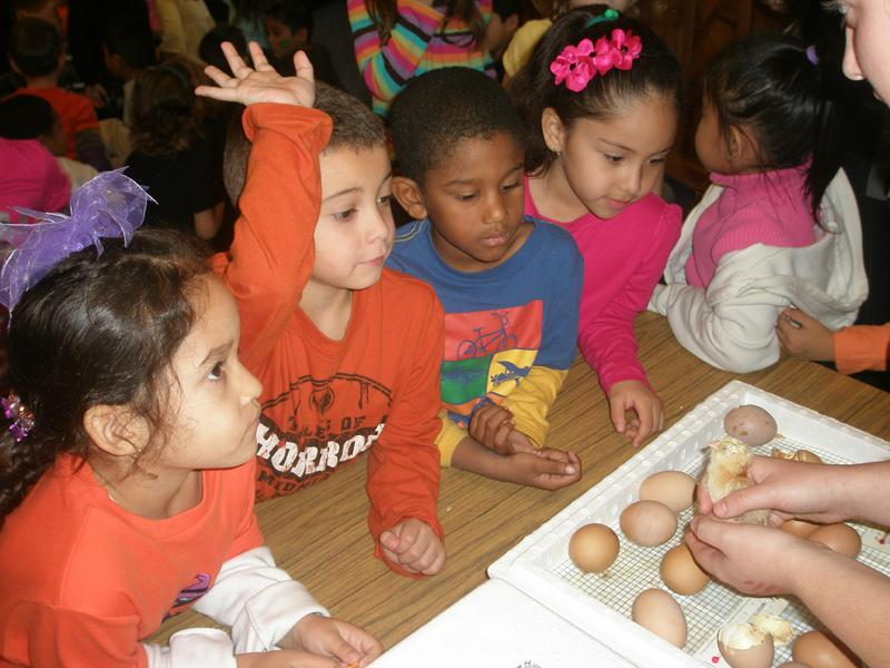 North Godwin students look at newly hatched chicks at its annual Harvest Festival.
