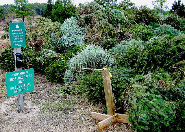 Christmas trees in a pile for recycling