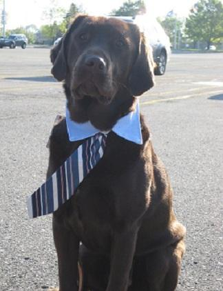 Amos, a Chocolate Labrador, provides support to child victims of abuse and neglect when they have to testify or be present in a courtroom