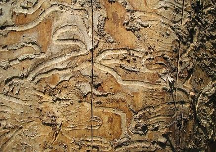 Detail of emerald ash borer damage