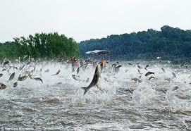 Asian carp jumping out of water