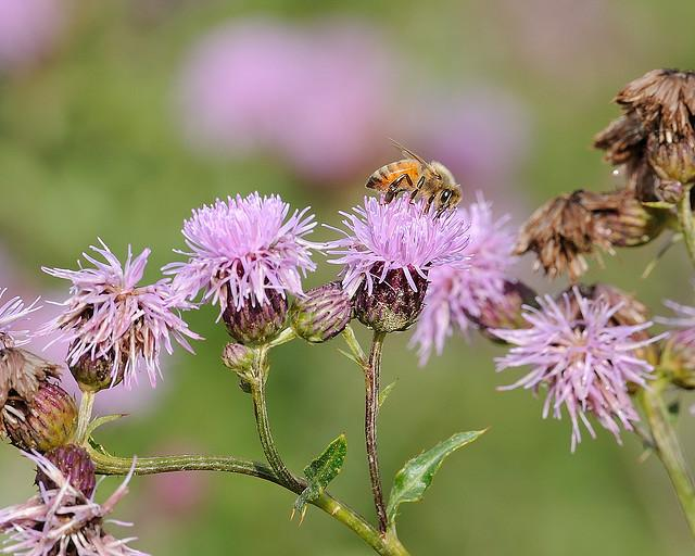 Spotted knapweed, or star thistle, is a favorite of bees. Some beekeepers say star thistle honey puts Northern Michigan on the map.