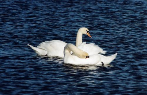 A pair of mute swans.