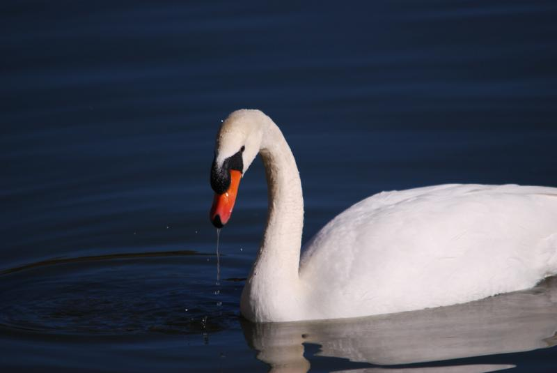 The Michigan DNRE wants to stop the rehabilitation of Mute swans in the state.