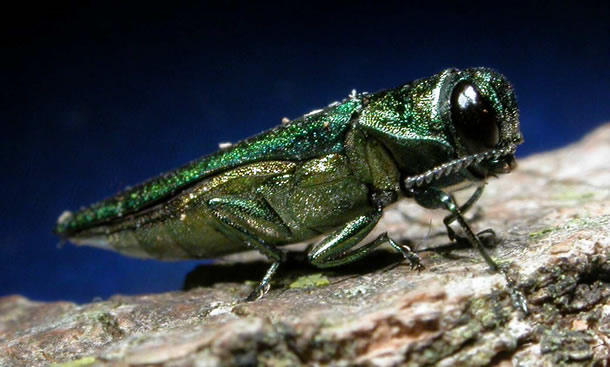 The invasive Emerald Ash Borer was first found in the U.S. in June of 2002. Since its arrival, the bug has wiped out millions of ash trees in Michigan alone.