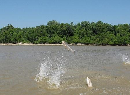 Asian Carp jump out of the Wabash River