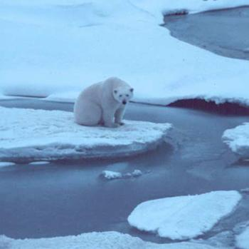 A polar bear on thin ice