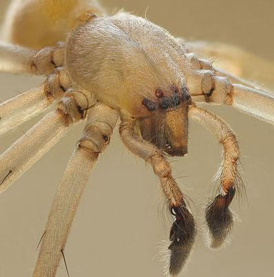 Cheiracanthium mildei, a.k.a. the yellow sac spider, had no comment on the Mazda recall.