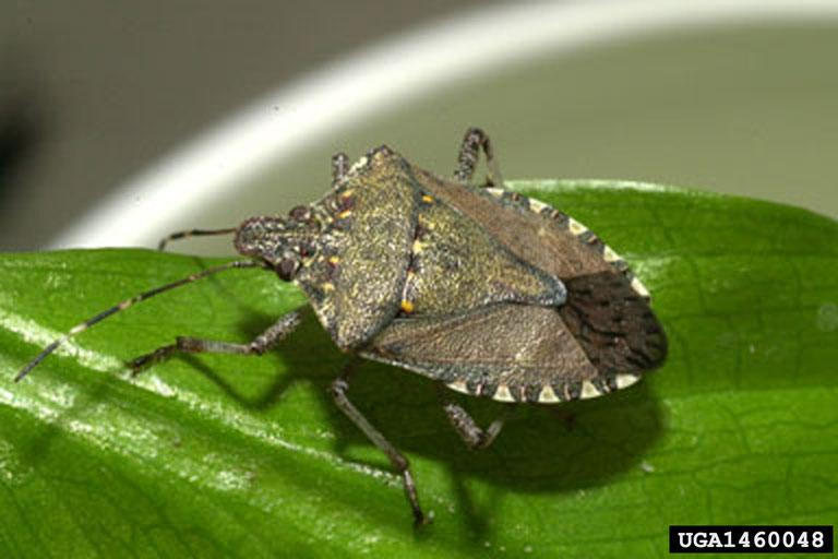 The Brown marmorated stink bug. Spook it and it might put its stink on you, but the real worry is what it could do to crops in the state.