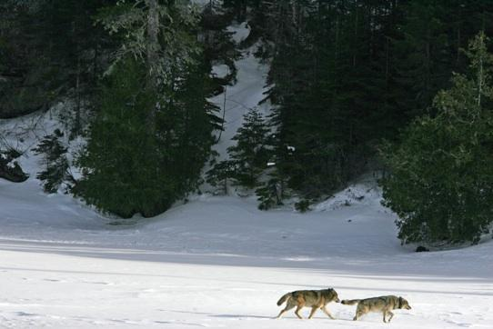 Wolves on Isle Royale in Lake Superior