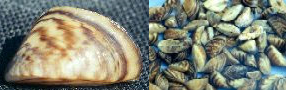 Zebra mussels continue to cause problems forecosystems in the Great Lakes