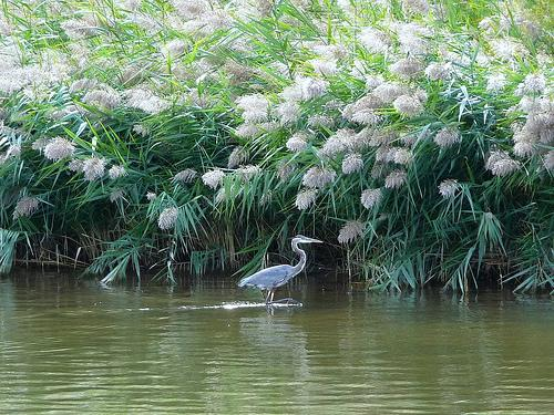 A blue heron in the Kalamazoo River