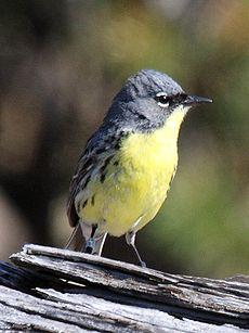 By 1974, the population of Kirtland's Warbler had plummeted to 167 singing males.