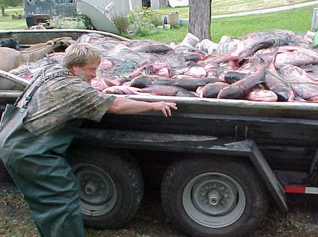 A boat load of Asian Carp. Asian Carp can make up a significant portion of the biota found in some river systems.