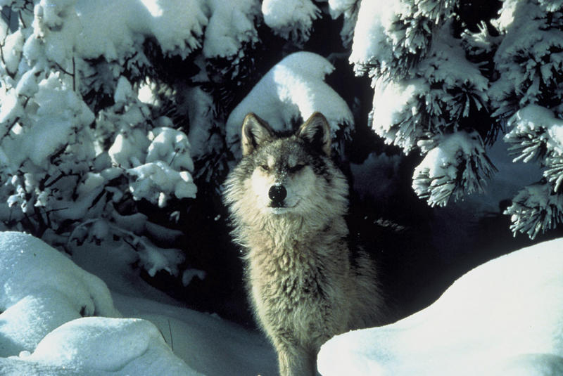 Michigan's gray wolf population is estimated to be 687 animals.  The recovery goal for the population is between 250-300 wolves.