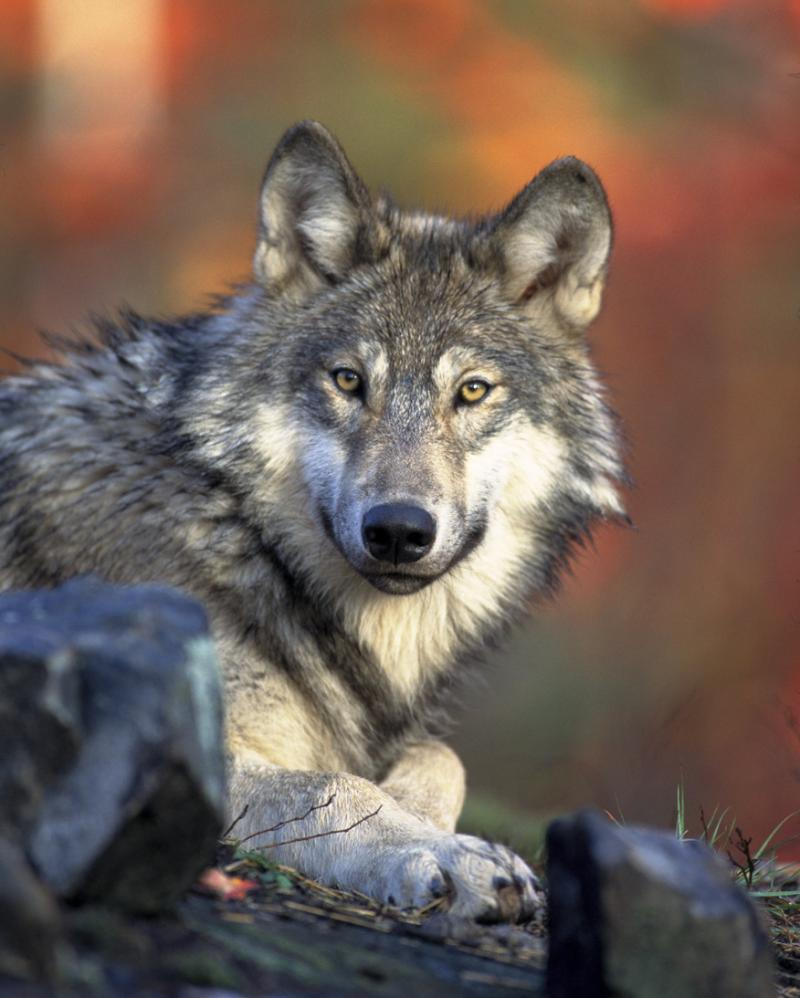 The gray wolf might become Michigan's newest game species.