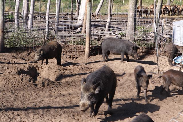 Wild hogs in a breeding facility.