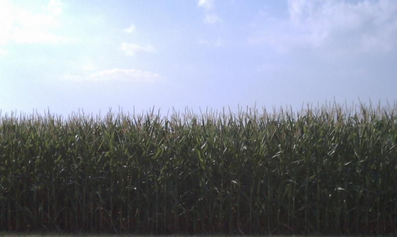 Corn being grown across the street from Archer Daniels Midland Co. headquarters in Decatur.