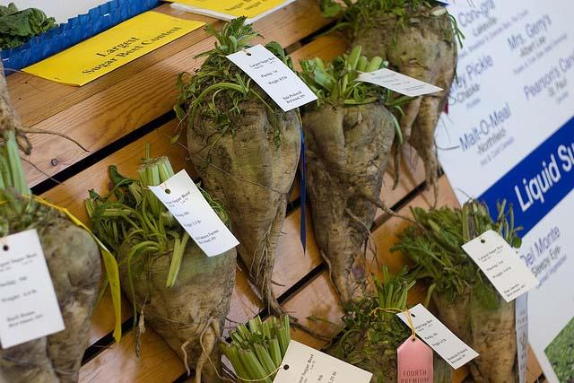 Sugar beets competing at a state fair