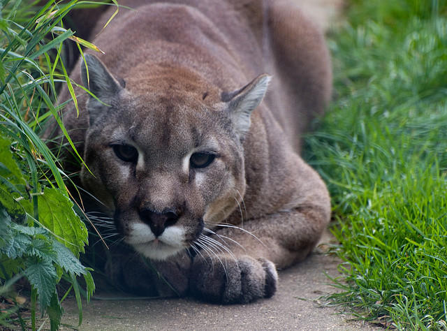 Cougars are native to Michigan, but all but disappeared in the early 20th century.