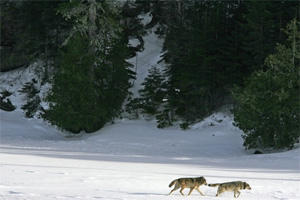 Photo of wolves on Isle Royale.