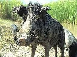 Feral swine often escape from hunting ranches.