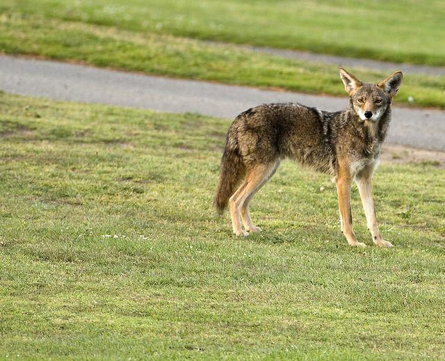 I didn't catch any urban coyotes on film in Oakland County, but here's a shot of one by a Flickr user near San Francisco.