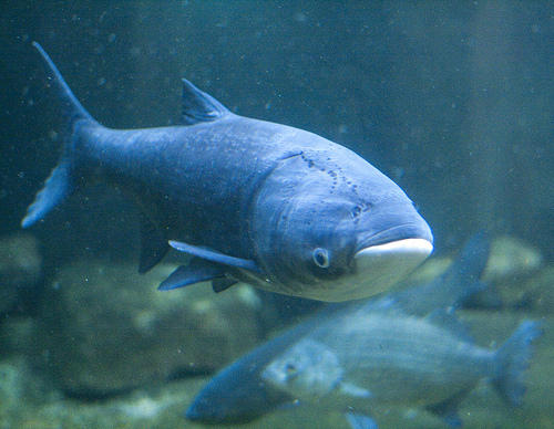 Asian carp can grow to weigh up to 100 pounds.