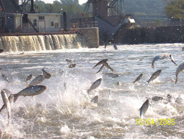 Asian carp leaping out of a river.