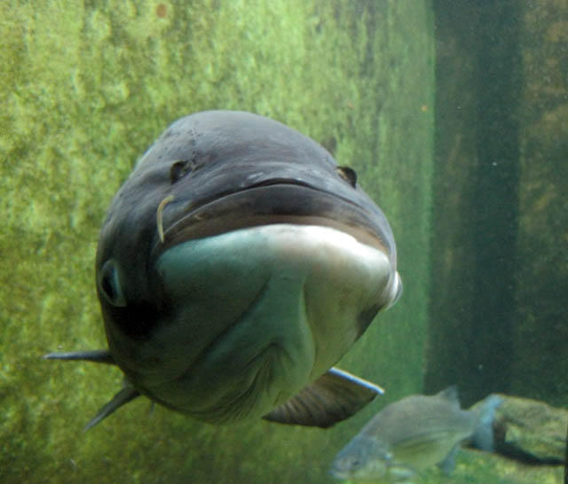 A bighead carp at the Shedd Aquarium (perhaps a face only its mother could love).
