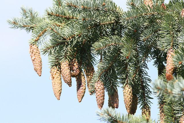 Blue Spruce is one of the species of trees that can be affected by Imprelis.