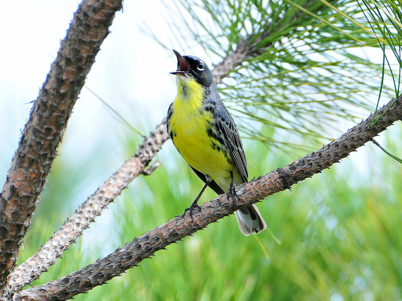 The Kirtland's warbler primarily nests in just a few counties in Michigan. The bird's population has been steadily increasing over the last 30 years in Michigan due to intense management practices.