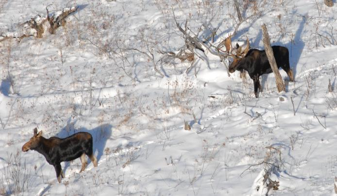 The DNR will soon decide whether a limited moose hunt will be held in Michigan.