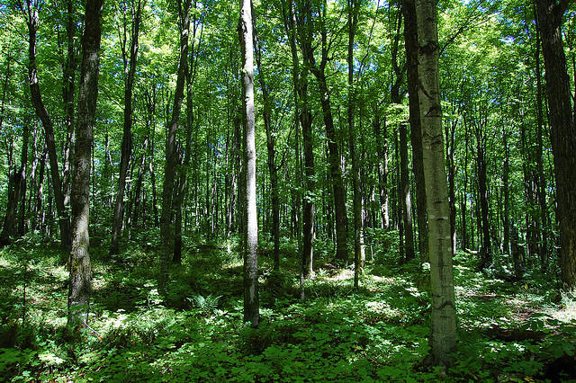 Forestland in Michigan's northern Lower Peninsula.
