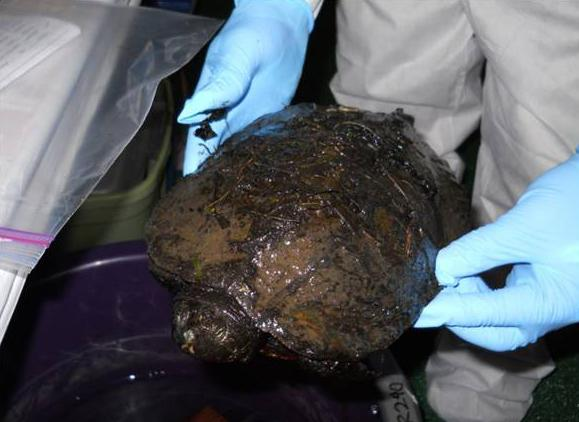 A rescued oiled turtle ready for cleaning