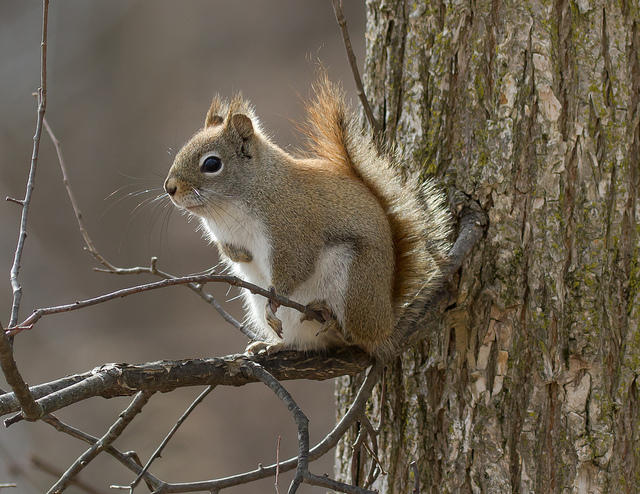 A red squirrel in Michigan.