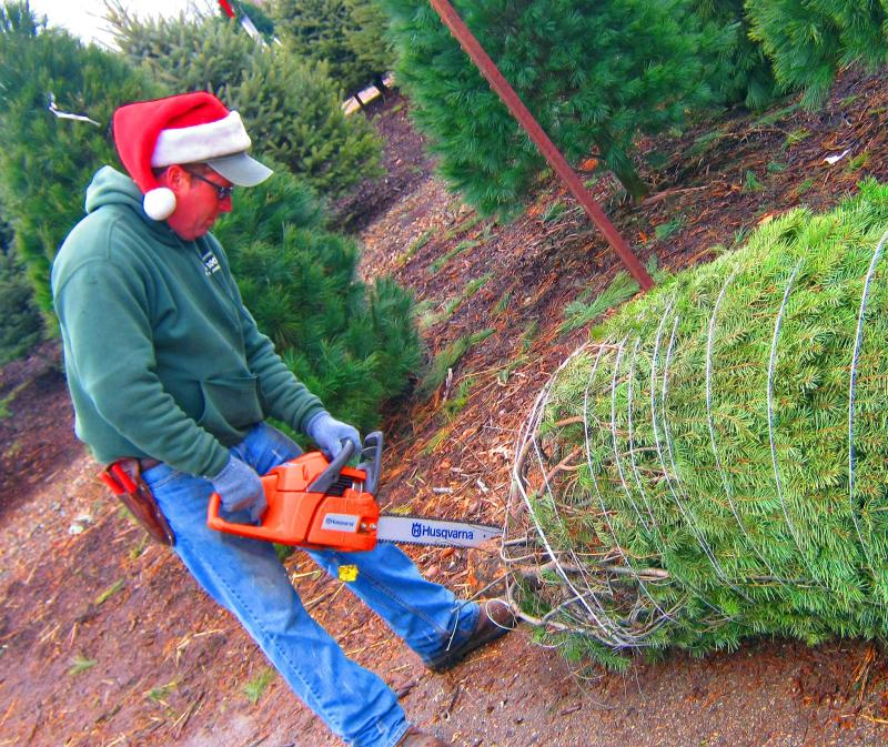 Matt Horrocks saws the lower branches off a freshly cut Christmas tree. His grandfather got Horrocks' Nursery into the Christmas Tree business in 1937.