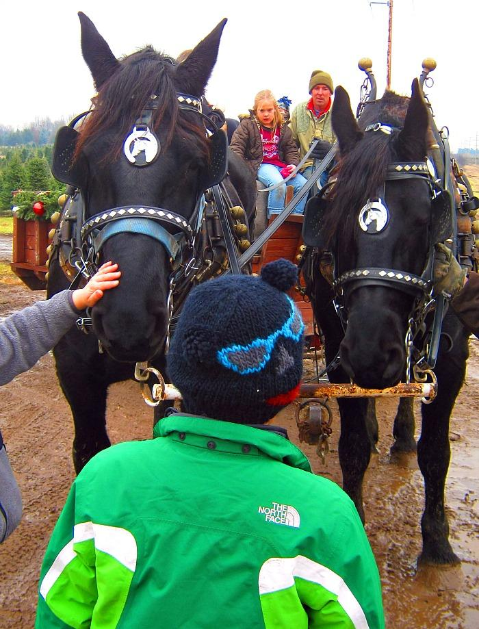 Percheron draft horses Collette and Clementine pull families and their fresh-cut Christmas trees back to get shaken and bagged at Horrocks' Nursery in Ionia, Michigan. Michigan produces the widest variety of real Christmas trees than any other state.