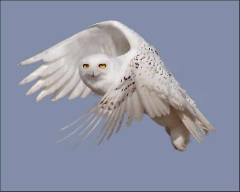 The Snowy Owl is traveling south in search of food. There have been multiple sightings in Michigan.